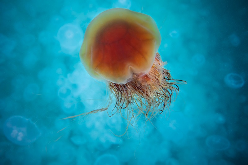 Jellyfish in the blue